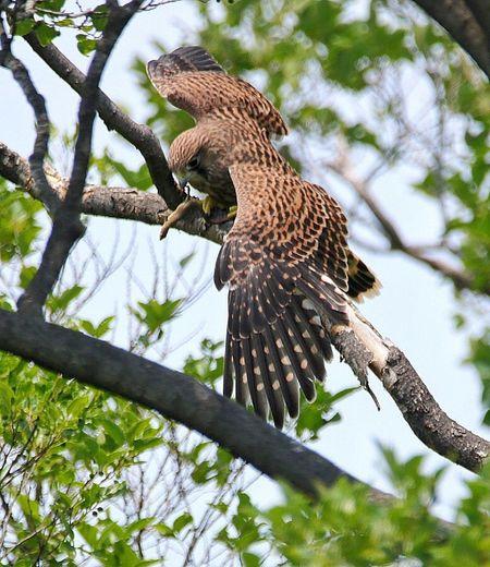 トカゲを食べるチョウゲンボウの雛 Bird Nature EyeEm Best Shots