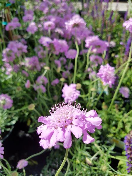Flower Plant Purple Pink Color Fragility Growth Nature Insect One Animal No People Beauty In Nature Freshness Day Outdoors Butterfly - Insect Animal Themes Flower Head Close-up Pollination Eyem Flowers Eyem Flower_collection Blooming Beauty In Nature Springtime Petal