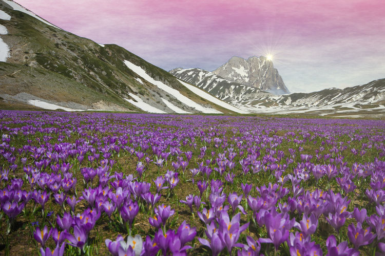 Romantic view of Campo Imperatore flowering at sunrise near Gran Sasso d'Italia, Abruzzo, Italy Abruzzo Crocus Flower Crocus Vernus Flowering Flowering Plant Gran Sasso D'Italia Nature Romantic Sunshine ☀ Wanderlust Ambient Beauty In Nature Blooming Blooming Flower Campo Imperatore Crocus Fantastic Landscape Mountain Mountain Peak Springtime Sunrise Sunshine Violet Wild Flowers