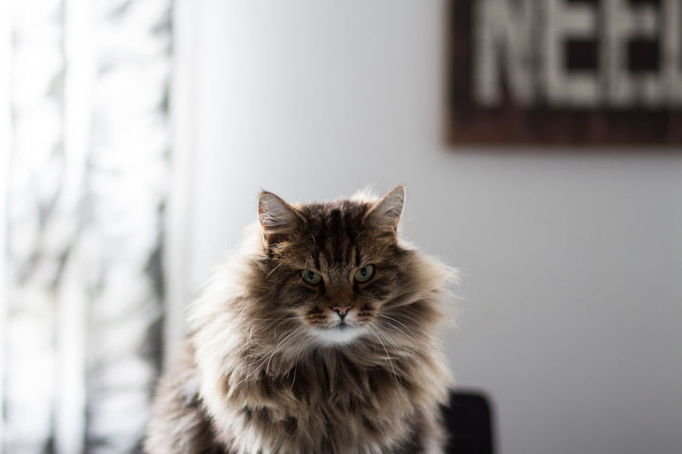 Close-up portrait of maine coon cat at home