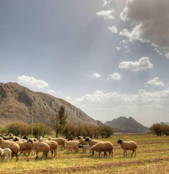 Sheep 🐑 Nature Nature_shooters Naturallandscape Naturelovers Landscape Landscapelovers Travel Traveling Mustseeiran Mustseeiran_insta Esfandabad Yazd Farm Sky