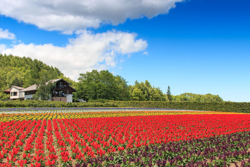 Furano, Japan - July 8,2015: flowers of the Tomita farm in Hokkaido with some tourists on background. Agriculture Architecture ASIA Beauty In Nature Biei Blue Building Exterior Built Structure Field Flower Flowers Freshness Furano Growth Hokkaido Japan Landscape Otaru Red Rural Scene Sky Spring Tranquil Scene Tranquility Travel