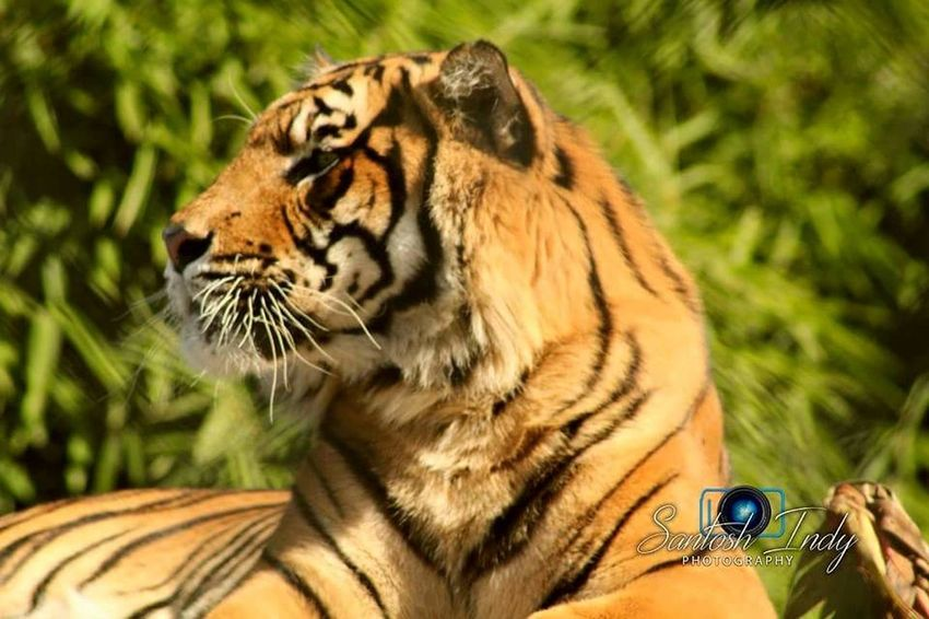 Samaritan Tigers Wildlife Photography Tiger Love Savethetiger