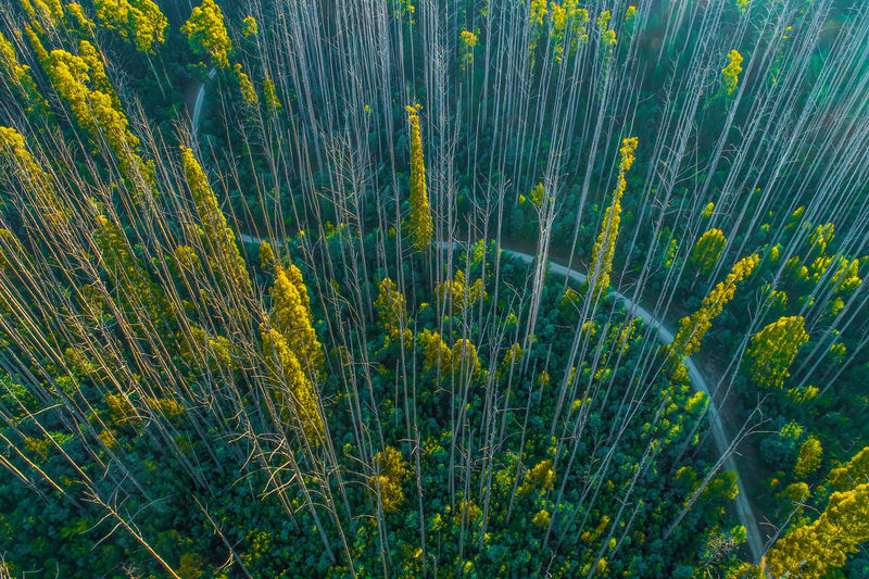 Aerial view of tall eucalyptus trees in the morning in Australia Anderson Mill Forest Green Color Growth High Up Horizon Landscape Marysville National Park No People Non-urban Scene Plant Sky Tranquil Scene Travel Locations Aerial Australia Background Bare Trees Beautiful Beauty In Nature Day Drone  Environment Looking Down Lookout Mountain Nature Outdoor Outdoors Road Scenic Scenics Top Down Travel Travel Destinations Tree Tops Trees Victoria View Winding Yarra Ranges