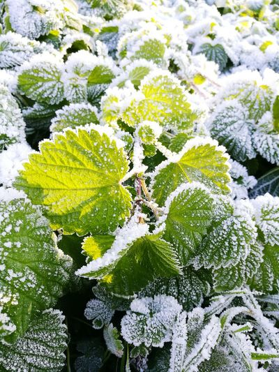 Nature Growth Plant Beauty In Nature Close-up No People Green Color Backgrounds Outdoors Ice Day Winterwalk Winter Frozen Nature Cold Temperature Snow Green Color Leaves🌿 Sunlight ☀