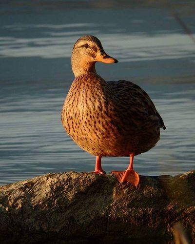 Duck Lake Meronelake Casletto anatra rock
