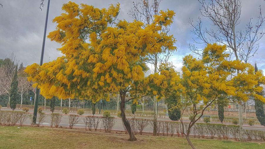 mimosas Yellow