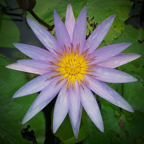 ดอกบัว Lotus Flower Flower Fragility Freshness Petal Beauty In Nature Flower Head Nature Growth Pollen Blooming Close-up Plant Outdoors No People Water Passion Flower Purple Iris - Plant