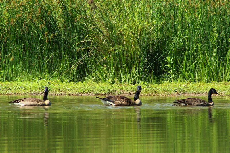 Beauty In Nature Canadian Geese Day EyeEm Nature Lover Geese Grass Green Color Growth Nature No People Outdoors Reflection Rippled River Tranquil Scene Tranquility Water Wildlife & Nature Wildlife Photography
