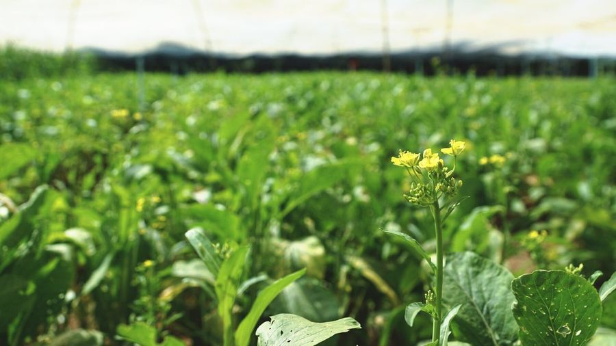 Nutritious Organic Argiculture Vegetables Vegetarian Growing Fresh Nature Growth Plant Splayed Farm Green Leaf Veget Flower Be Still Be Strong Organic Farm Local