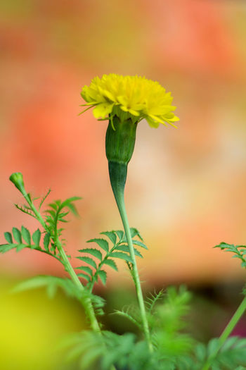 Flower Flowering Plant Plant Freshness Selective Focus Close-up Fragility Vulnerability  Growth Beauty In Nature Nature Yellow Green Color Plant Part Plant Stem Leaf No People Petal Flower Head Outdoors Springtime Sepal Gardening