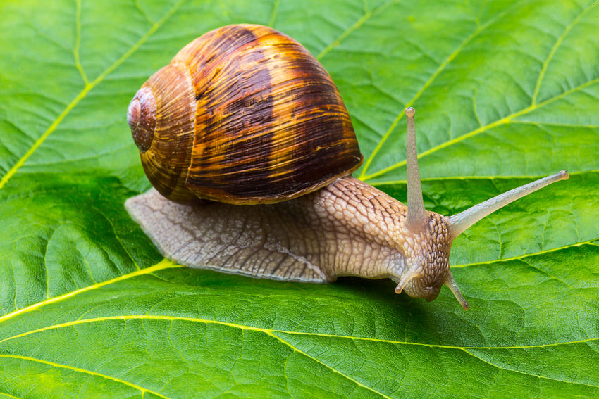 Helix pomatia also Roman snail Burgundy Snail Cooking European  Farm Green Nature Rome Slime Snail Animal Antenna Background Burgundy Edible  Forest Garden Gastropod Helix Helix Pomatia Leaf Leaf Vein Parasite Roman Snail Spiral Wildlife