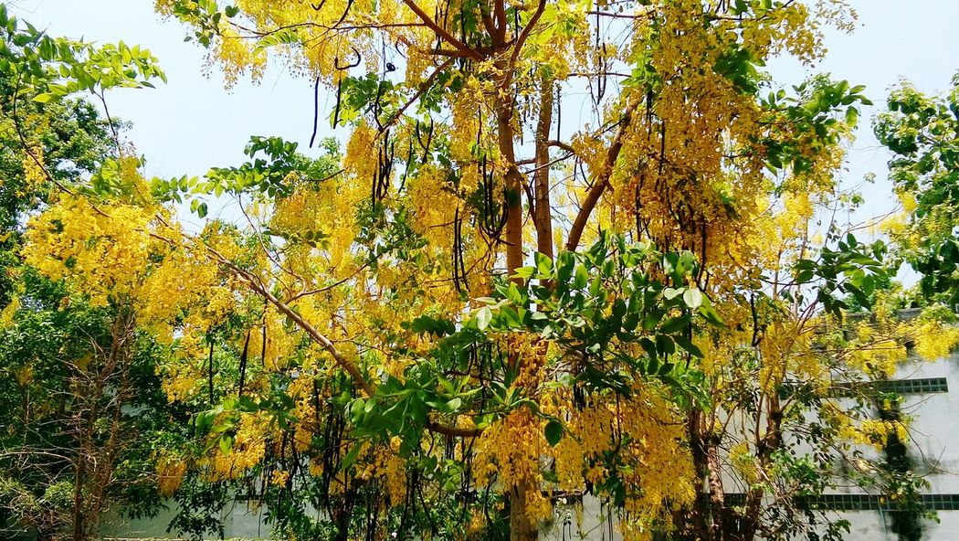 gloden shower tree EyeEm Selects Yellow Flower Yellow Color Gloden Shower Fabaceae Tree Sky Plant Green Color Woods Sunrays Stream Hazy  Tree Trunk Forest Backgrounds Leaf Vein Leaves Growing Full Frame Branch Treetop Pathway Many Fallen Leaf Greenery