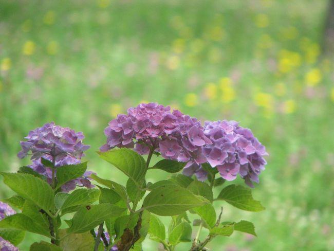 紫陽花 紫陽花-hydrangea-