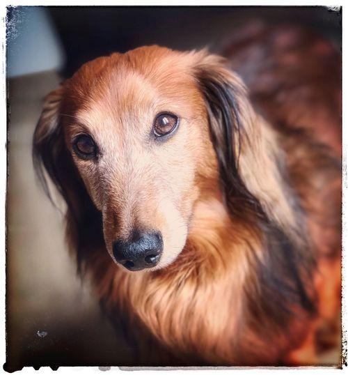 Love my baby Dashund Teckel One Animal Animal Animal Themes Dog Canine
