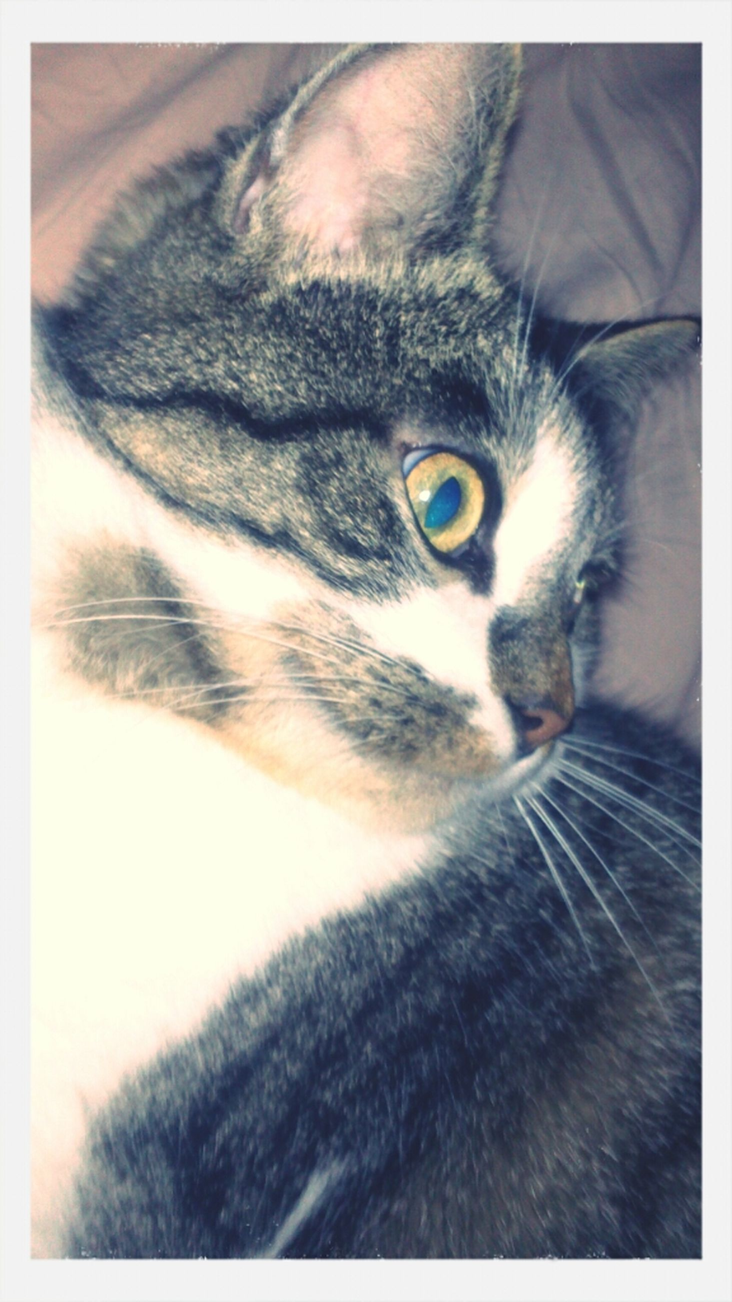pets, one animal, domestic animals, domestic cat, animal themes, cat, mammal, feline, whisker, indoors, transfer print, auto post production filter, animal head, portrait, relaxation, close-up, looking at camera, staring, animal eye, alertness