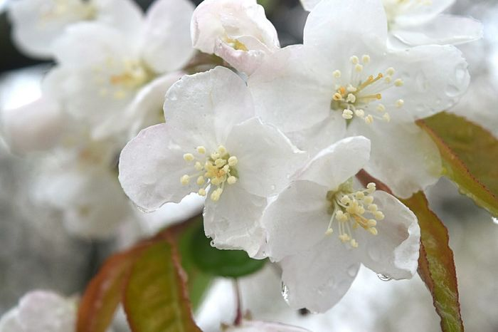 Easter Ready Flowers Close-up Snow Crab Apple Tree White Flower