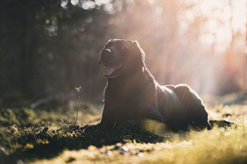 Naturally backlit black labrador retriever dog portrait lying in the forest against the sun