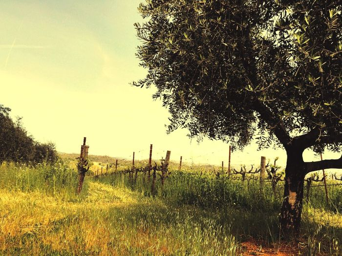 Sonoma Winecountry Landscape IPhoneography Outdoors Travel