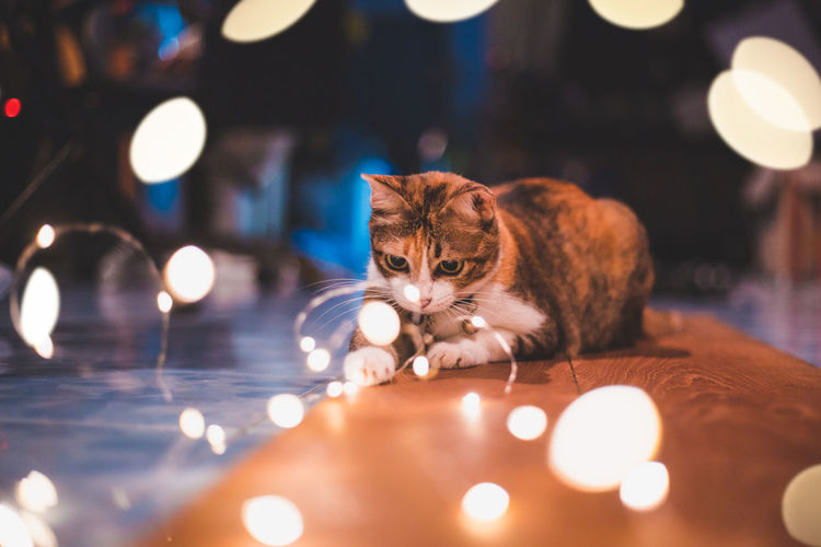 love me love my cat. Thai Cat Thailand Animal Animal Themes Bokeh Cat Domestic Domestic Animals Domestic Cat Electric Lamp Feline Glowing Illuminated Indoors  Lens Flare Light Light - Natural Phenomenon Lighting Equipment Mammal Night No People One Animal Pets Selective Focus Vertebrate