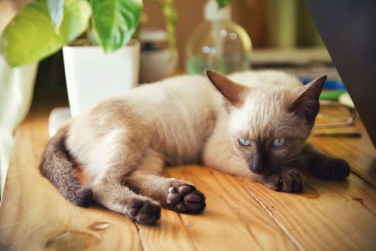 Portrait of cat lying down on wooden floor
