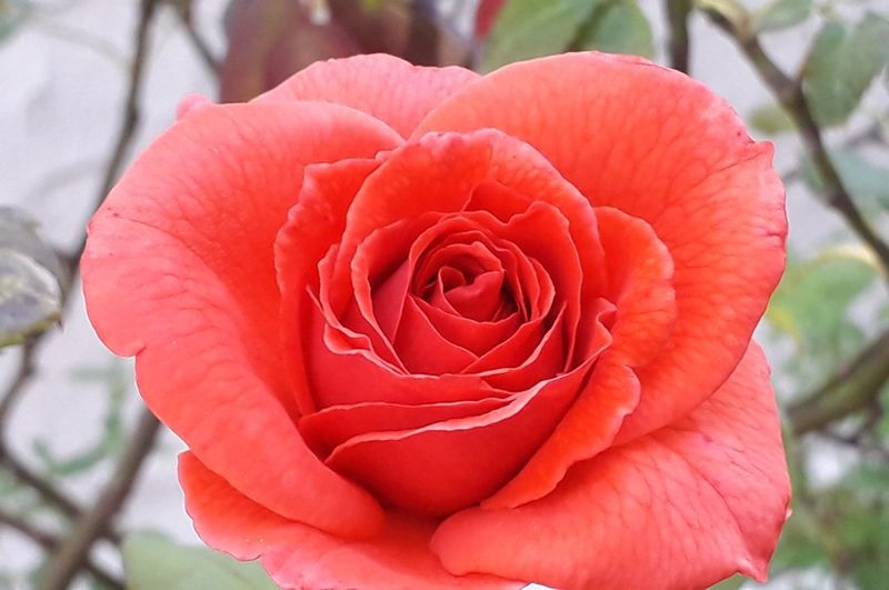rose Nature