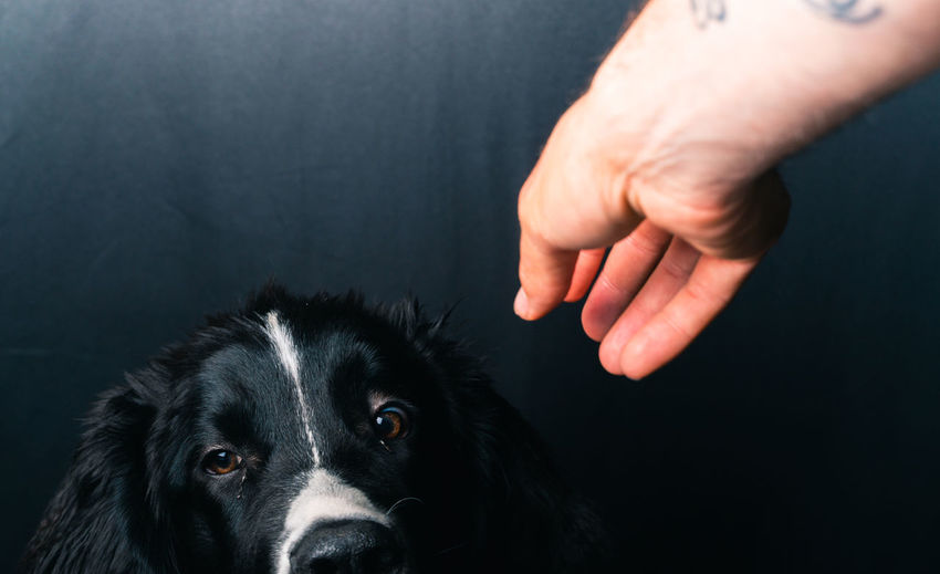Close-up portrait of dog with hand on black background