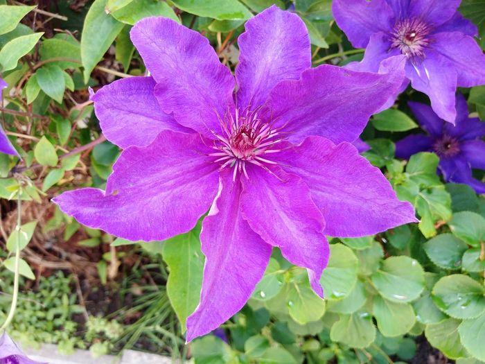 Garten Lilac