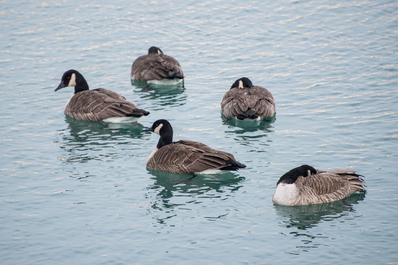 Animal Themes Animal Wildlife Animals In The Wild Beauty In Nature Bird Canada Goose Day Geese Goose Gosling Lake Nature No People Outdoors Swimming Water
