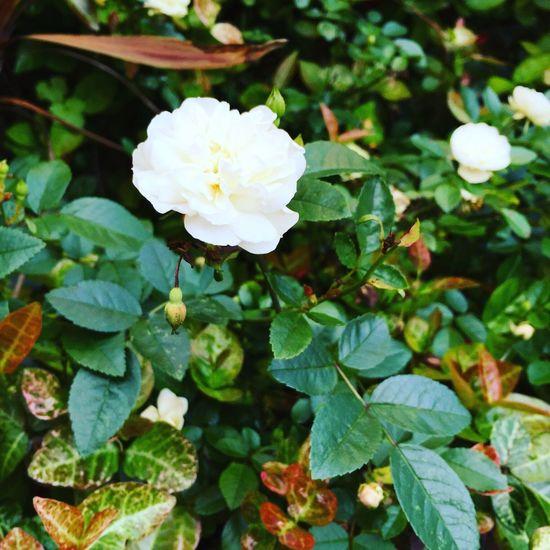 Roses Rose🌹 Rosé White White Color Whiterose White Flower Nature Garden