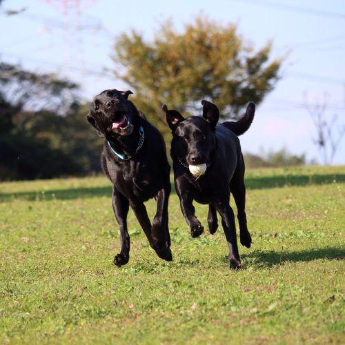 Labrador Blacklab Cane Labrador Retriever LabradorRetriever Dog Retriever Smile Guapos Perrito Guidedog Perros  Happy Happy :)