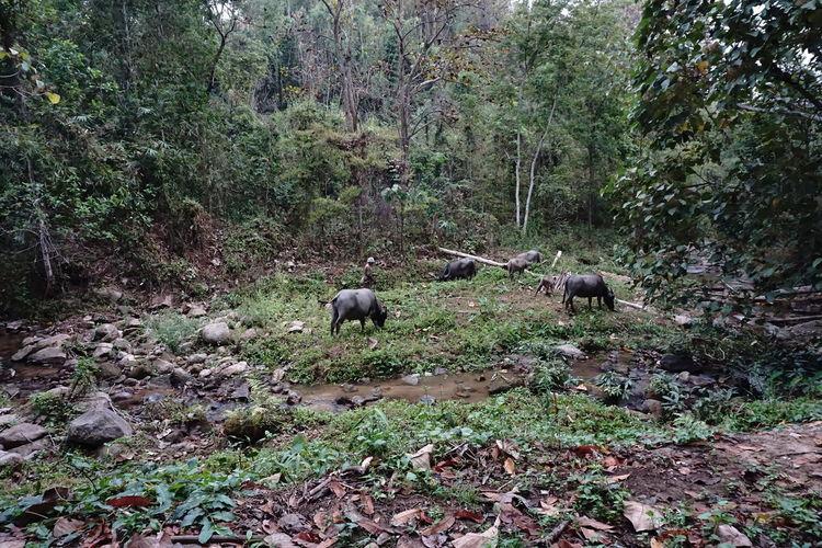 Caretaker Master Nature Water Buffalo