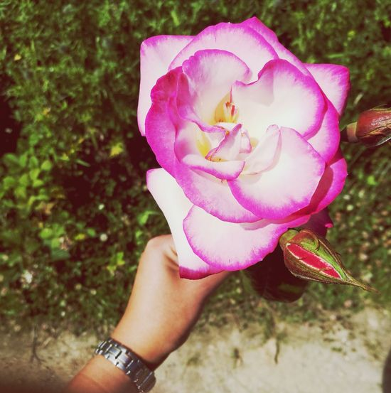 Flower Pink Color Petal One Person Nature Human Body Part Fragility Close-up Beauty In Nature Outdoors Chexk This Out! Flower Head Freshness Human Hand