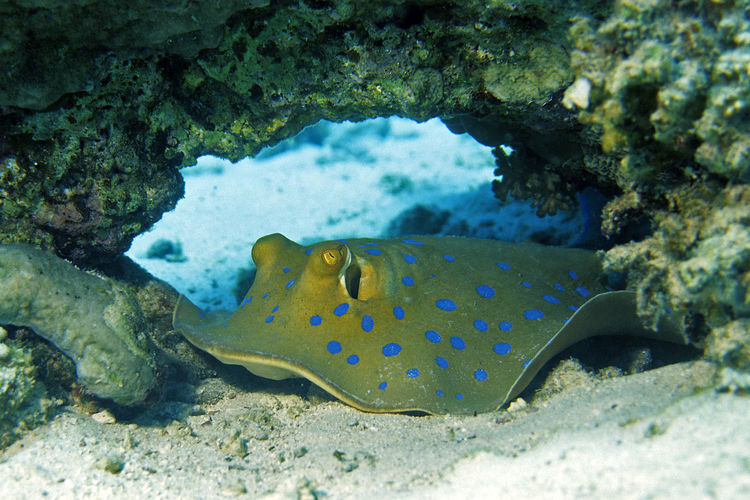 Bluespotted Stingray at Red Sea Coral Reef, Egypt Bluespotted Stingray Egypt Nature Ray Sealife Tropics Animal Themes Animal Wildlife Animals In The Wild Bottom Coral Reef First Eyeem Photo Marine Life Nature One Animal Outdoors Red Sea Sea Sea Life Stingray Toxic Tropical UnderSea Underwater Wildlife
