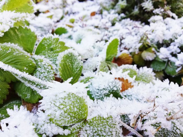 Close-up of frozen plants on snow covered field