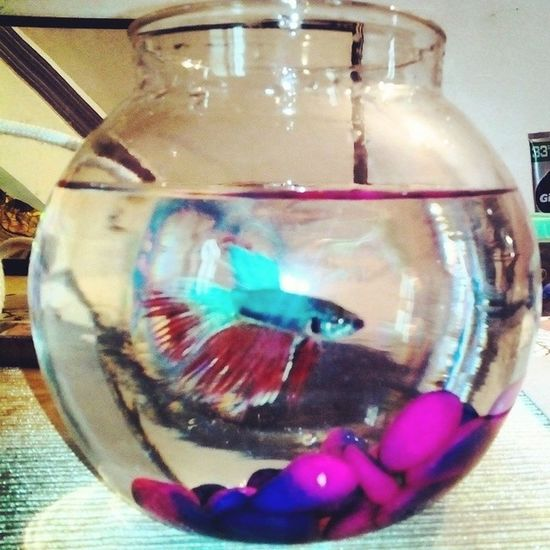 Friends New Pet Fish Fighter Named Ginee Colourful Fishpot Insta Click