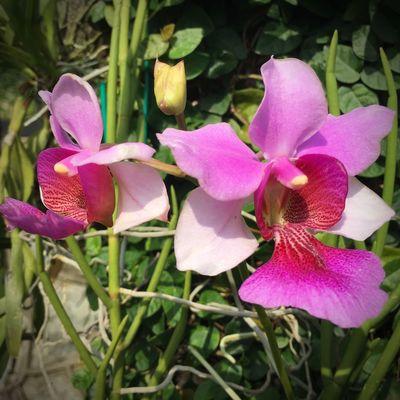 "Papilionanthe Miss Joqium Agnes ""Atherton"" Vanda First Eyeem Photo"