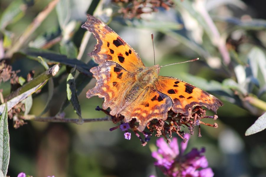 Comma Butterfly Butterflies Butterfly ❤ Nature Nature Photography Nature_collection Naturelovers Nature On Your Doorstep Natural Beauty EyeEm Gallery Eye4photography  EyeEm EyeEm Best Shots Natures Diversities