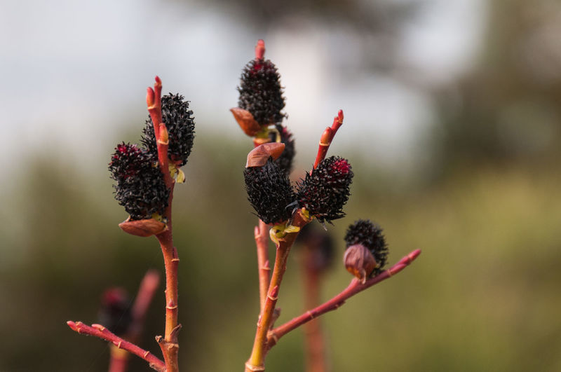 Close-up of black pussy willow buds