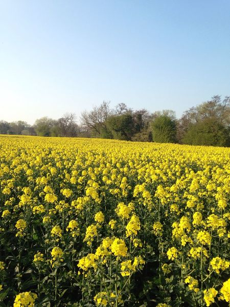 Yelloil Yellow Nature Field Landscape Growth Beauty In Nature Agriculture Farm Rural Scene Plant