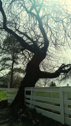 Historical Tree at Colonial Williamsburg Centuries Old Tranquility Rustic History Old Tree Historical Antique Peaceful Relaxing Nature Beauty In Nature Woods Trees Tree Shadow Sunlight Branch Sky Fence Picket Fence Growing Bench Go Higher EyeEmNewHere