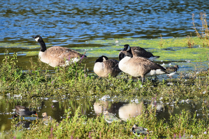 Canadian Geese in summer Canada Goose Canadian Geese Geese Gooses Animal Themes Animal Wildlife Animals In The Wild Beauty In Nature Bird Canada Geese Canadian Goose Day Goose Lake Nature No People Outdoors Togetherness Water Young Animal Young Bird