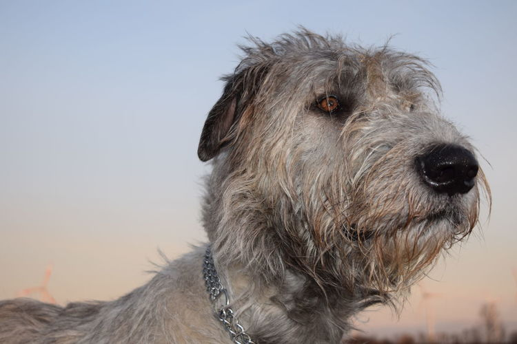One Animal Animal Themes Close-up Dog Outdoors Sky Animal Head  Dogwalk Dogs Of Winter Dogs Of EyeEm Irish Wolfhound Cearnaigh Dogslife How Is The Weather Today? February 2017 Winter 2017 Domestic Animals