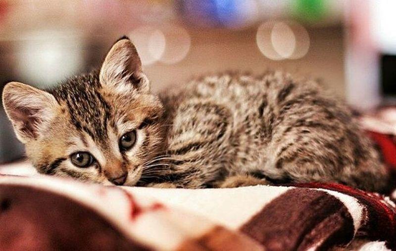 Milu Kitten Kitty Domesticanimals