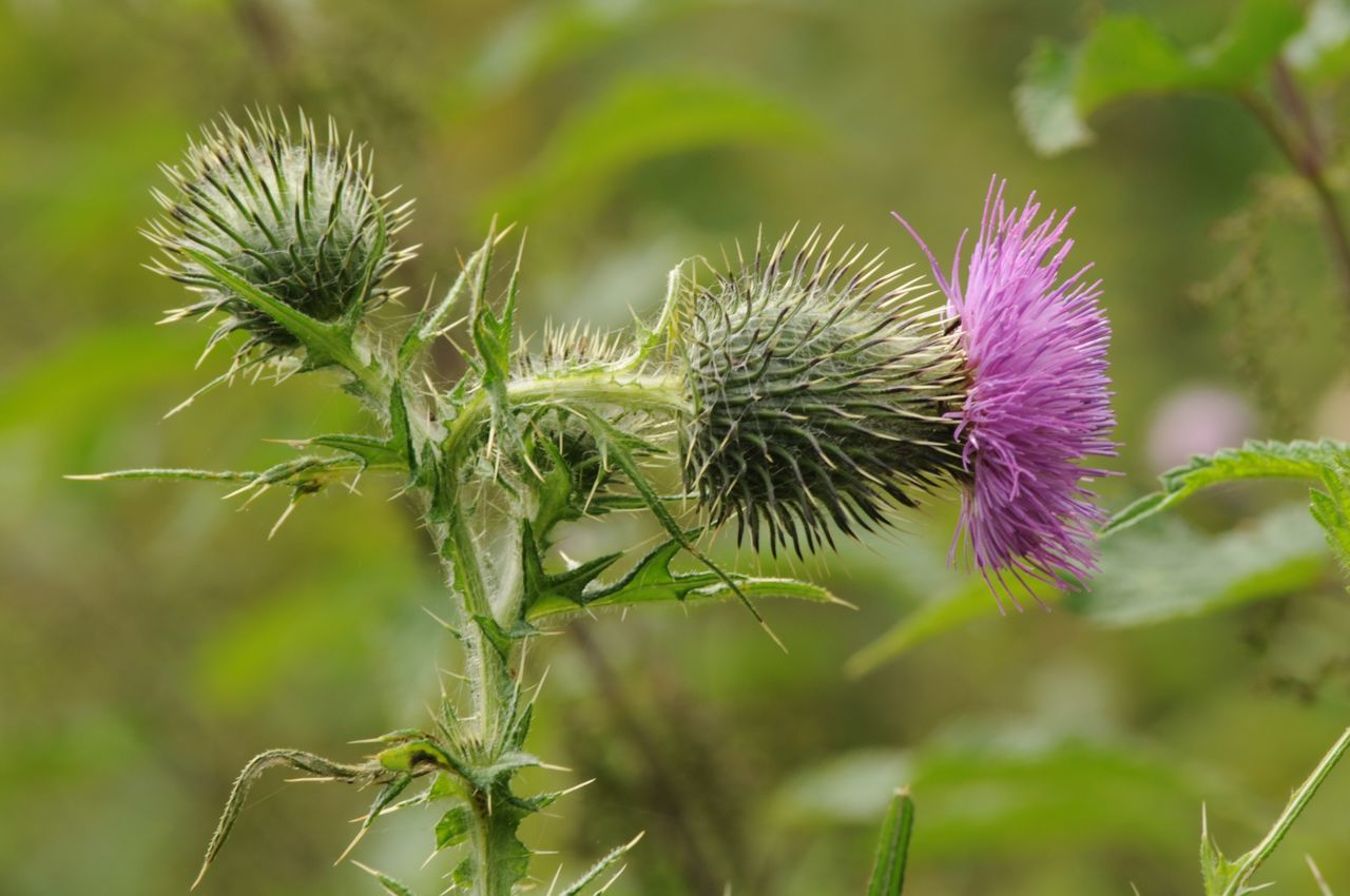 nature, flower, plant, growth, focus on foreground, thistle, no people, beauty in nature, day, purple, outdoors, close-up, fragility, flower head, freshness