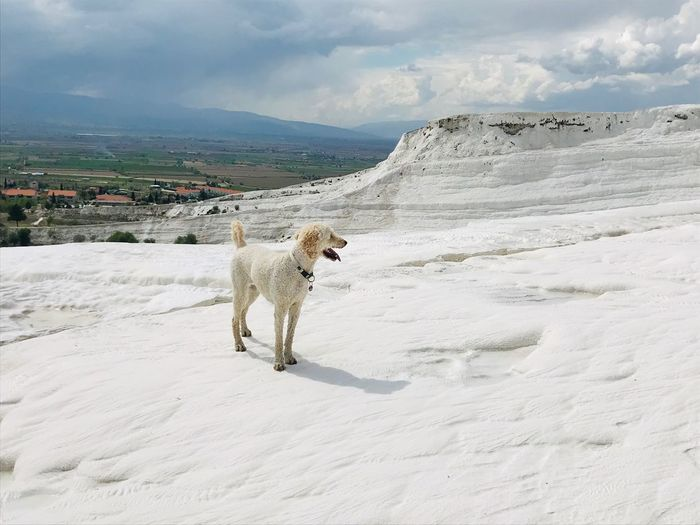 Pamukkale EyeEm Selects Animal Themes Mammal One Animal Animal Pets Domestic Animals Vertebrate Cloud - Sky Sky Beauty In Nature Nature Environment Snow Land Winter Domestic Dog Canine Day No People