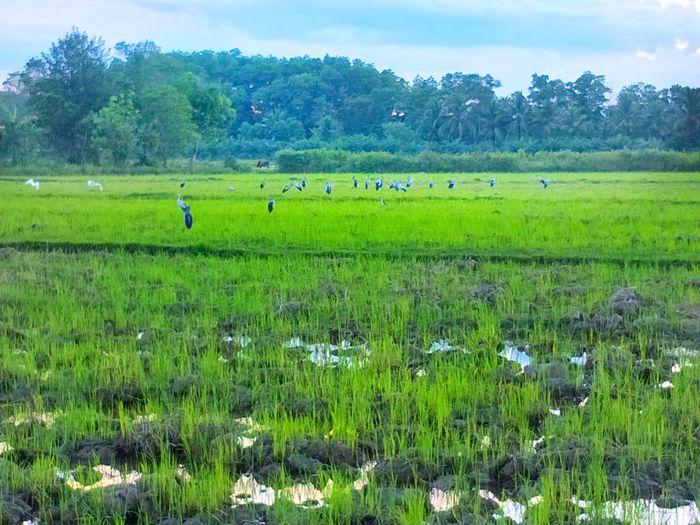 rice field ,