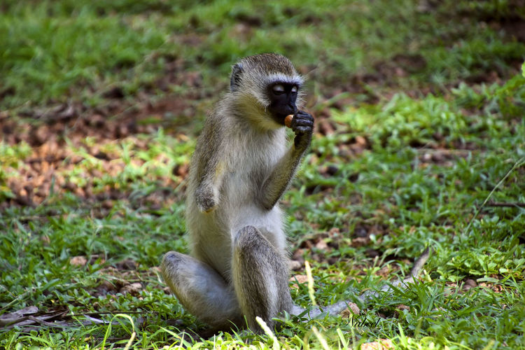 Down one hand but not out! Happened upon this Vervet Monkey in mombasa last year by chance. Wildlife Portraits Of EyeEm No People Nature Kenya Africa Wildlife & Nature Beautiful Wild Animal Monkey Vervet Monkey Tail Animal Themes Grass Close-up Monkey Primate My Best Photo