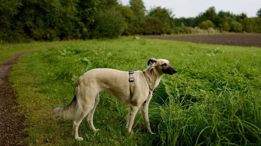 Animal Themes Domestic Animals Field Focus On Foreground Grass Long Hair Whippet Mammal Meadow One Animal Silken Wind Sprite Tranquility Whippet