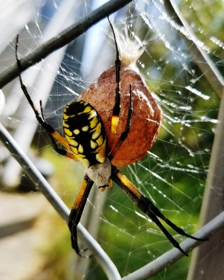 One Animal Animal Themes Spider Web Insect Spider Animals In The Wild Animal Wildlife Focus On Foreground Close-up Day No People Web Outdoors Nature Fragility Eggsack Garden Spider The Week On EyeEm EyeEmNewHere EyeEm Nature Lover Close Up Nature Childhood Perspectives On Nature